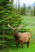 Brandon Smith Framed Prints - Wild Bull Elk Framed Print by Brandon Smith