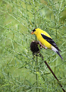 Canary Yellow Prints - Wild Canary Bird Closeup Print by Brandon Alms