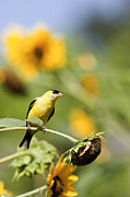 Canary Yellow Prints - Wild Canary Bird Closeup in a Field of Sunflowers Print by Brandon Alms