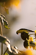 Canary Yellow Prints - Wild Canary Bird Eating Seeds From Sunflowers Print by Brandon Alms