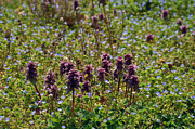 Natural Bridge Station Photos - Wild Catnip by Brenda Dorman
