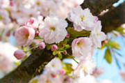 Tree Blossoms Prints - Wild cherry blossom Print by Angela Doelling AD DESIGN Photo and PhotoArt