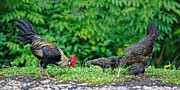 Moorea Posters - Wild Chicken Family Poster by Linda Phelps