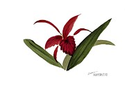 Alethea McKee - Wild Chinese Orchid #3