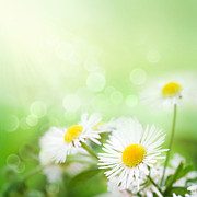 Mythja  Photography - Wild daisies