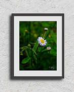 Amanda Collins Framed Prints - Wild Daisy Framed Print by Amanda Collins
