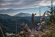 Dave Beal - Wild Daisy View of Mt St...