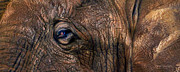 Wild Animal Mixed Media Posters - Wild Eyes - African Elephant Poster by Carol Cavalaris