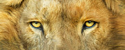 African Lion Art Mixed Media - Wild Eyes - Lion by Carol Cavalaris