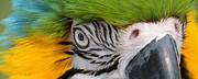 Tropical Bird Art Posters - Wild Eyes - Parrot Poster by Carol Cavalaris