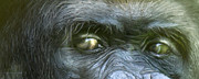 Gorilla Mixed Media Posters - Wild Eyes - Silverback Gorilla Poster by Carol Cavalaris