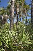 Palmetto Trees Framed Prints - Wild FL 1 Framed Print by Patrick M Lynch