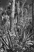 Palmetto Trees Framed Prints - Wild FL 2 Framed Print by Patrick M Lynch