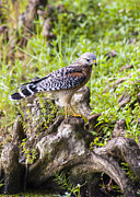 Red-shouldered Hawk Posters - Wild Florida Hawk Poster by Carolyn Marshall