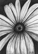Daisies Drawings Prints - Wild Flower Print by J Ferwerda