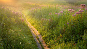 Sun Rays Posters - Wild Flower Path Poster by Bill  Wakeley