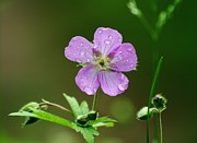 Dew Covered Flower Posters - Wild Gernanium Drops Poster by Neal  Eslinger