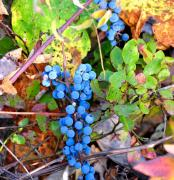 Grape Leaves Prints - Wild Grapes Print by Todd Hostetter