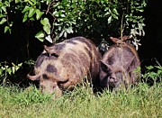 Hogs Digital Art - Wild Hogs by Paulette  Thomas
