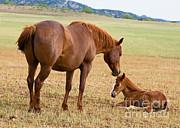 Millard H Sharp - Wild Horse Mother And Baby