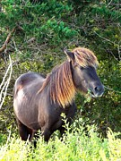 Descendant Art - Wild Horse of Shackleford Banks by Cindy Croal