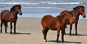 Four Wheel Drive Beach Posters - Wild Horses Enjoying the Beach    Poster by Shane Ball