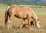 Millard H Sharp - Wild Horses Mother And Foal