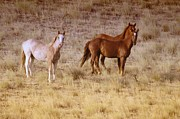 Wild Horses Prints - Wild Horses Of Satus Pass Print by Jeff  Swan