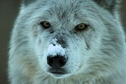 Wolf Portrait Prints - Wild Intensity Print by Adam Jewell