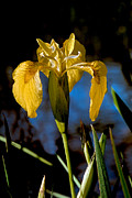 River Greeting Cards Posters - Wild Iris Poster by Robert Bales