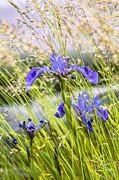 Wild Irises Print by Marty Saccone