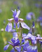Purple Flowers Posters - Wild Irises Poster by Rona Black