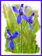 Blue Delphinium Posters - Wild Larkspurs Poster by Will Borden
