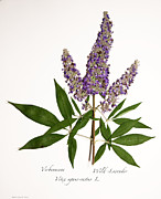 Agnus Art - Wild-Lavender 1 by Roberta Jean Smith