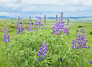 Bluebonnet Wildflowers Posters - Wild Lupine Poster by Theresa Tahara