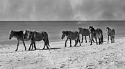 Equestrian Prints Posters - Wild Mustangs of Shackleford Poster by Betsy A Cutler East Coast Barrier Islands