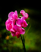 Wild Pea Flower Print by Robert Bales
