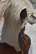 Forelock Photos - Wild Pinto D9159 by Wes and Dotty Weber