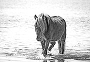 Wild Pony Drawings Prints - Wild Pony of Assateague Print by Ron Schreiber