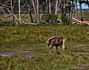 Wildlife Art Acrylic Prints Prints - Wild Pony on Assateague Island Print by Gerlinde Keating - Keating Associates Inc