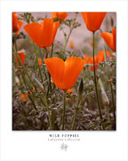 California Poppies Framed Prints - Wild Poppies Art Poster - California Collection  Framed Print by Ben and Raisa Gertsberg