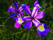 Wild Purple Iris Print by Bill Caldwell -        ABeautifulSky Photography