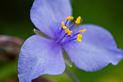 Tradescantia Posters - Wild purple spiderwort 2 Poster by Matt Suess