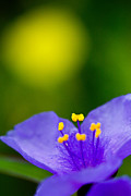 Spiderwort Posters - Wild purple spiderwort wildflower Poster by Matt Suess