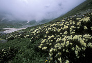 Hillsides Photos - Wild Rhododendrons On A Hillside by Anonymous