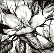 Flood Drawings Prints - Wild Rose. Alberta Flood Rose Project Print by Anna  Duyunova