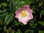 Ann Fellows - Wild Rose