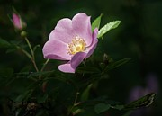 Christopher Mace - Wild Rose