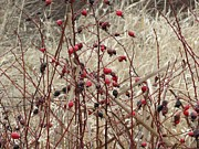 Helen  Campbell - Wild Rose Hips in Winter