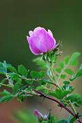 Wild Rose Print by Kimberley Anglesey